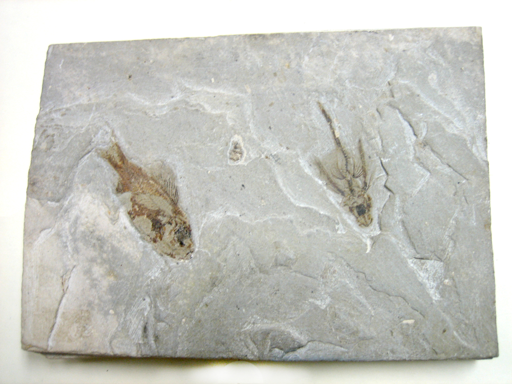 Fossil-Flying Fish