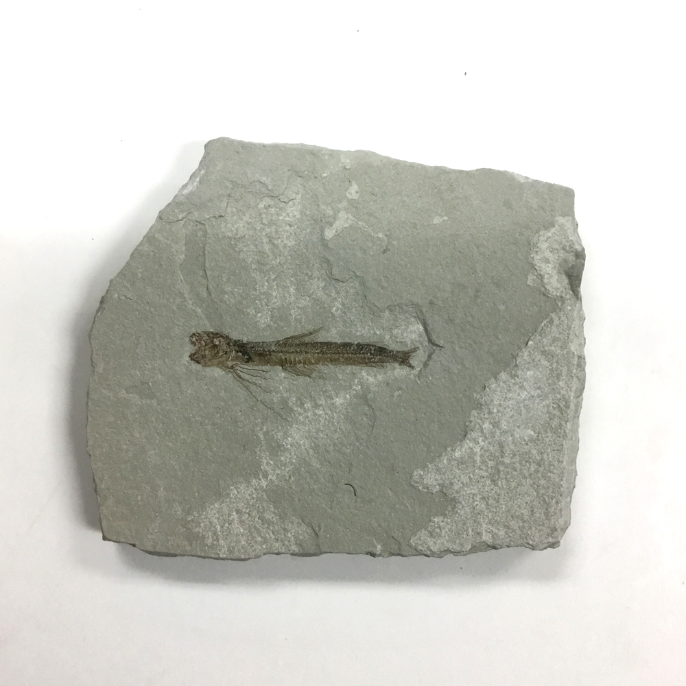 Fossil-Catfish (1249)
