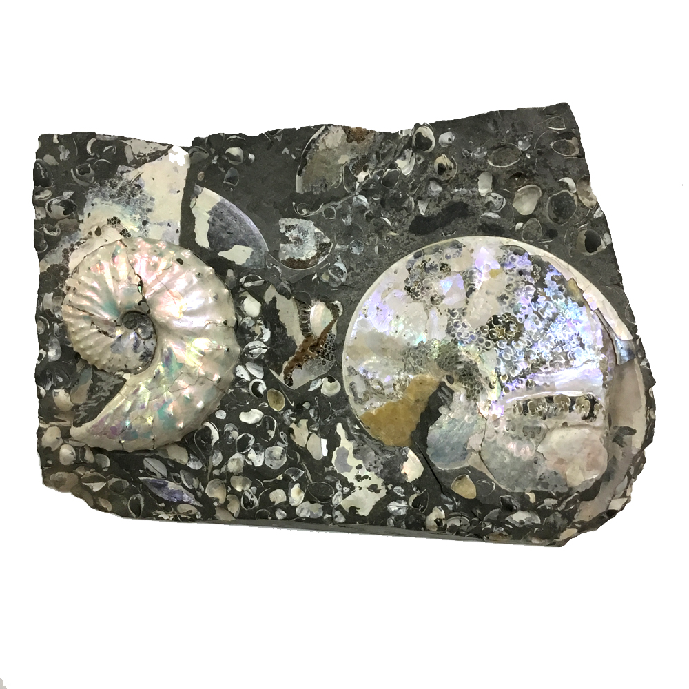 Scaphite and Ammonite