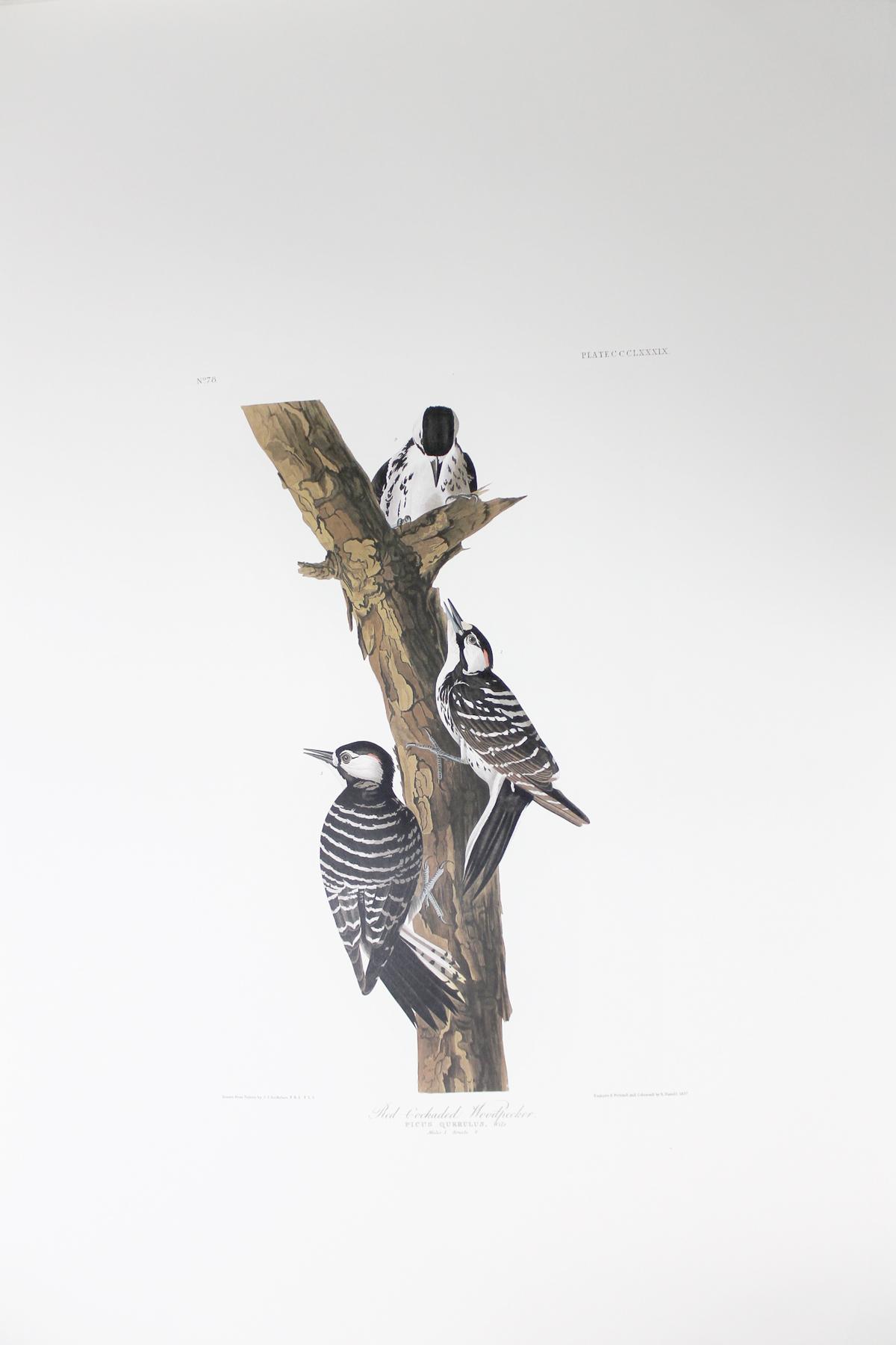 Red Cockaded Woodpecker (CCCLXXXIX)