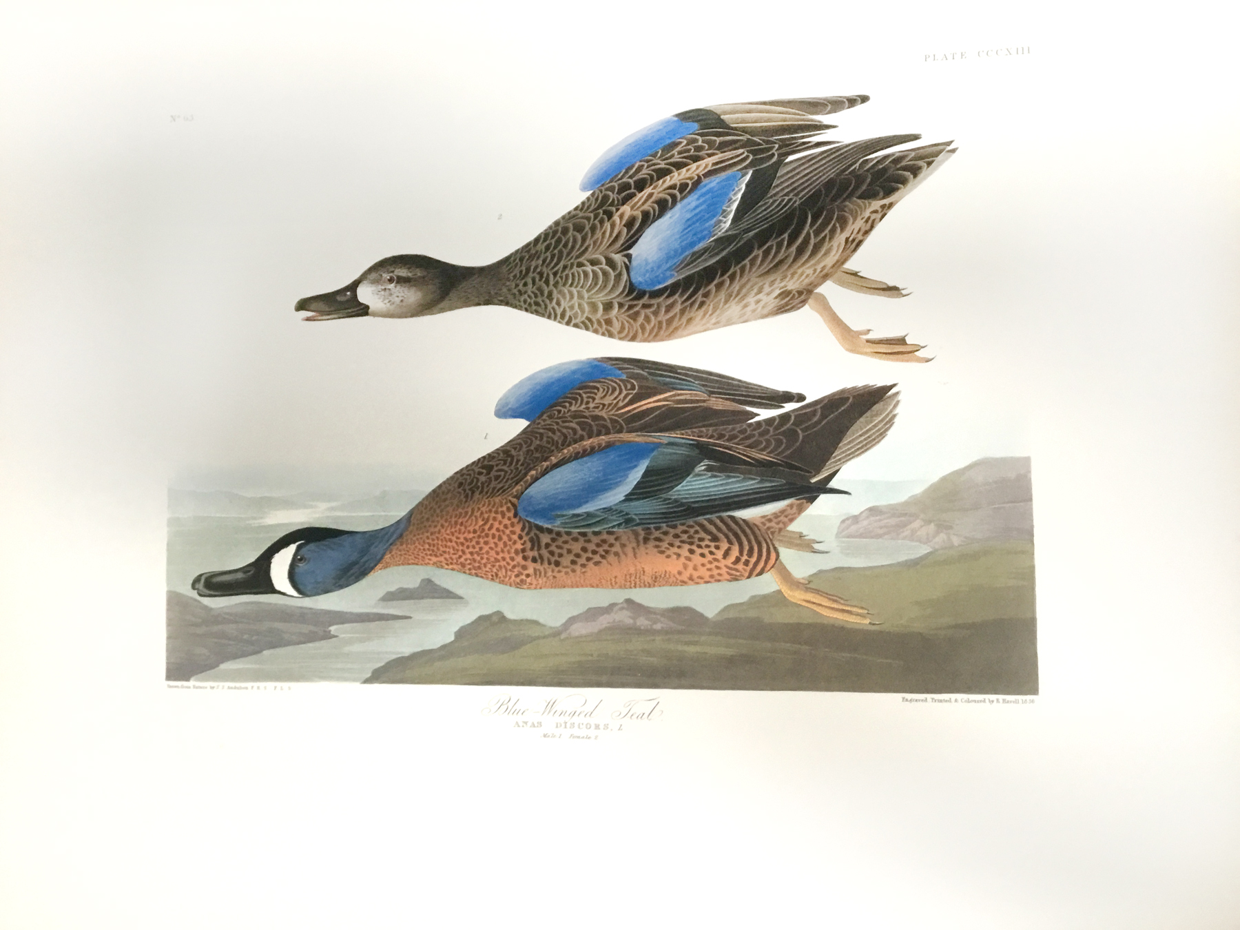 Blue-winged Teal (CCCXIII)