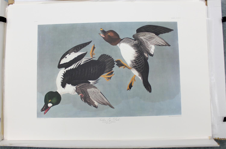 Golden Eye Duck (CCCXLII)