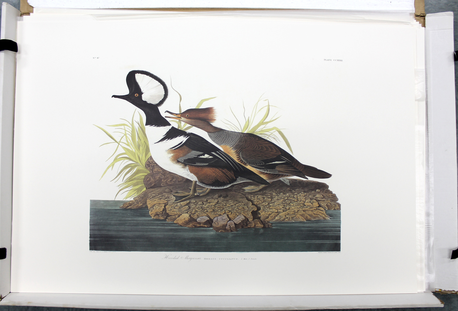 Hooded Merganser (CCXXII)
