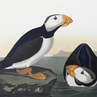 Large-billed Puffin (CCXCIII)