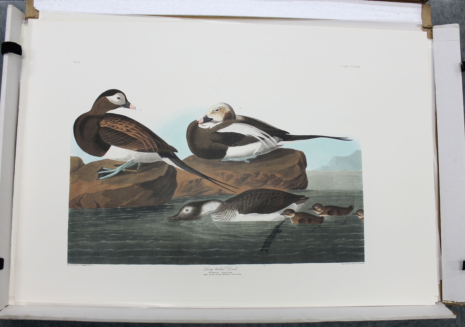 Long Tailed Duck (CCCXII)