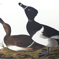Ring-necked Duck (CCXXXIV)