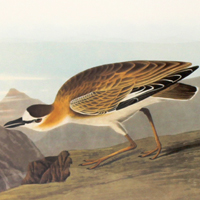 Rocky Mountain Plover (CCCL)
