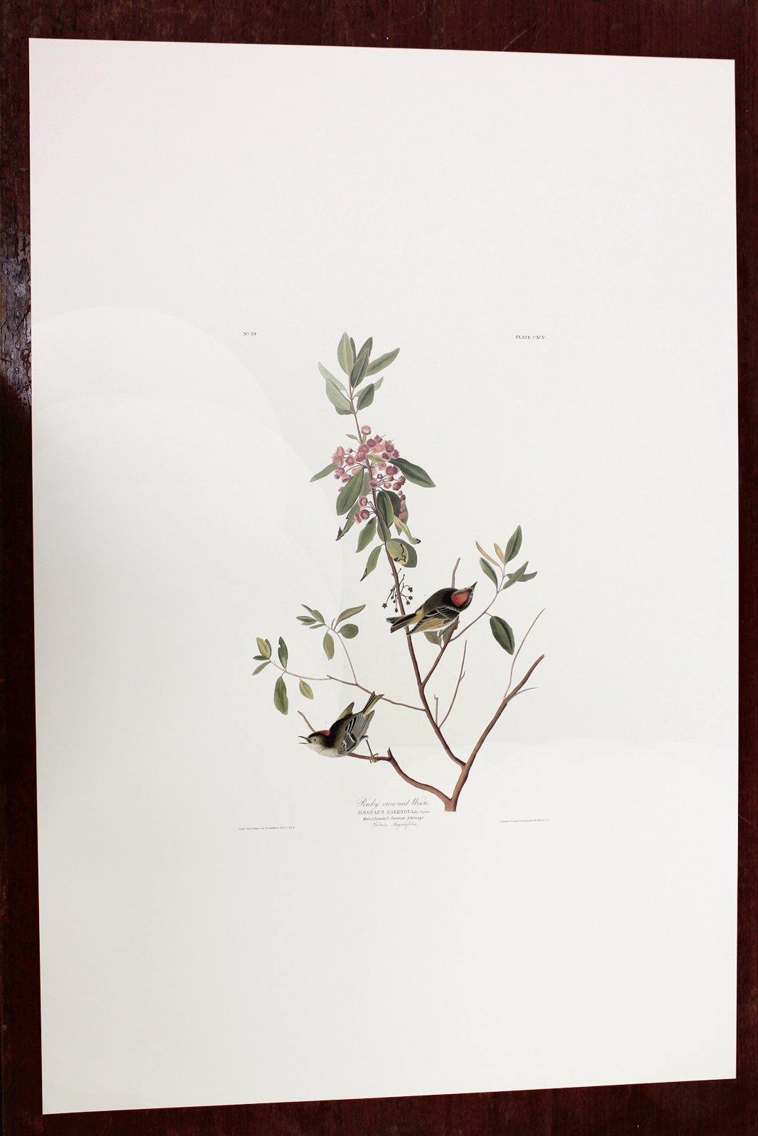 Ruby-crowned Wren (CXCV)