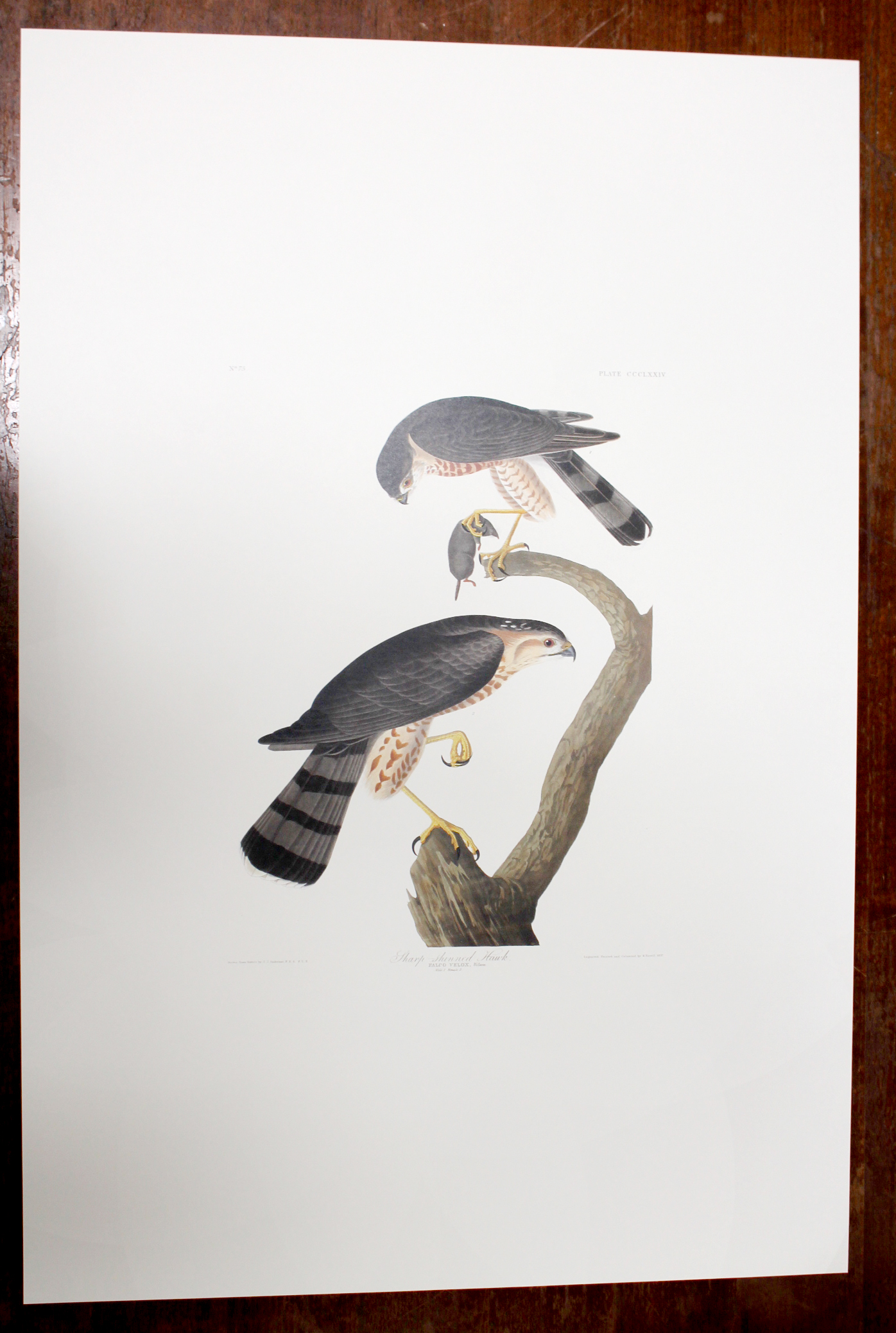 Sharp-shinned Hawk (CCCLXXIV)
