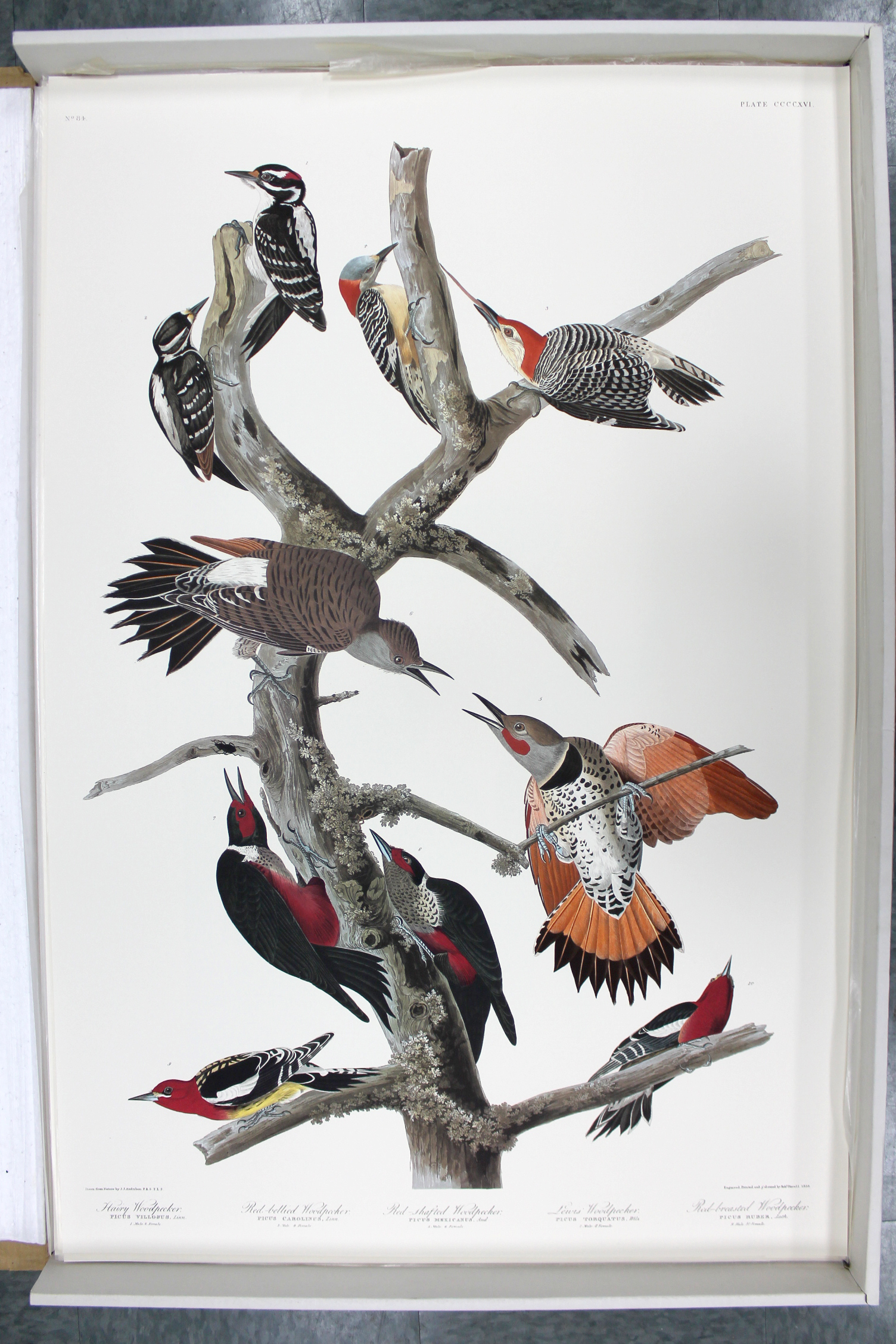 Ten Woodpeckers (CCCCXVI)
