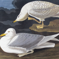 White-winged Silvery Gull (CCLXXXII)