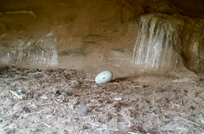 a california condor egg in a nest
