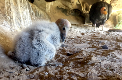 newly hatched california condor chick 924