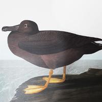 Dusky Albatross (CCCCVII)