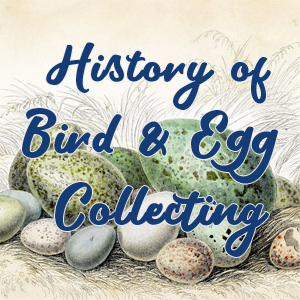 history egg collecting button