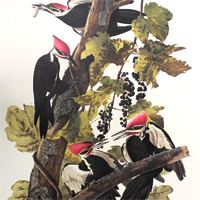 Pileated Woodpecker (CXI)