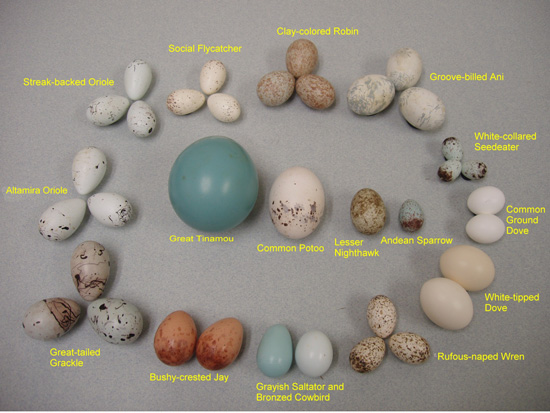 WFVZ collections GuateEggs